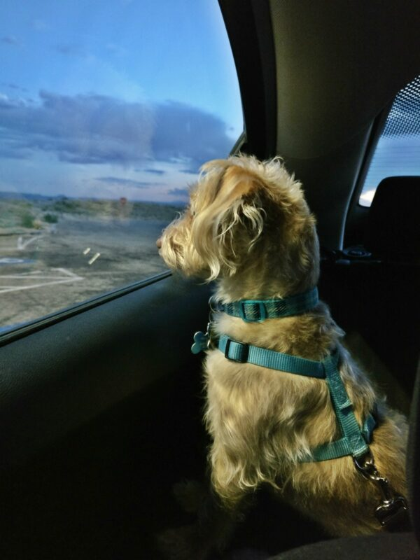 Dog looking out car window.
