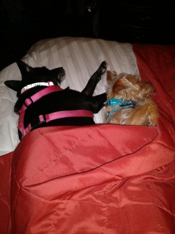 Dogs Sleeping Under a Blanket, Drury Inn Overland Park, 4 Days In Kansas